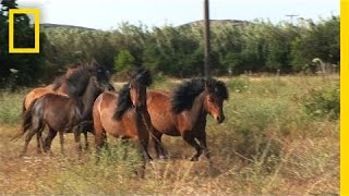 Tiny but Mighty: This Ancient Greek Horse Still Exists Today | National Geographic