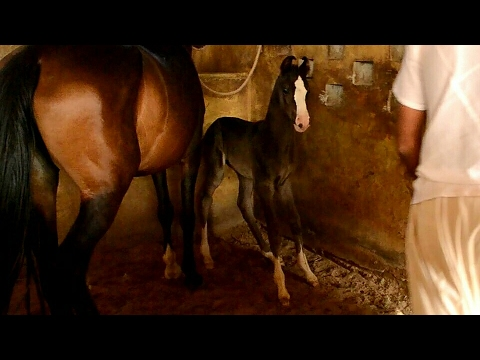 Colt sired by stallion Chetak