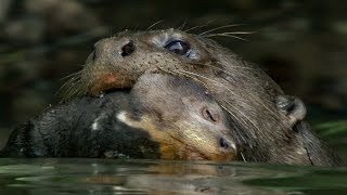 Otter Cubs Get a Swimming Lesson   BBC Earth