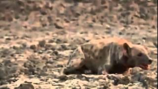 Watch this lion attack hyena brutality ! 1