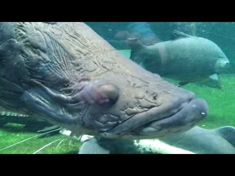 Arapaima Arapaima gigas Berlin Aquarium HD
