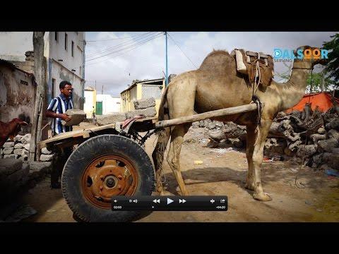 Geela reer Baraawe Camel in Barawe