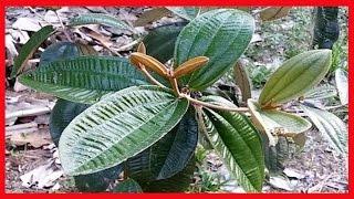 TRATAMENTO PARA ARTRITE ➜ Esta Planta é o ÚNICO Remédio Natural que CURA ARTRITE E ARTROSE