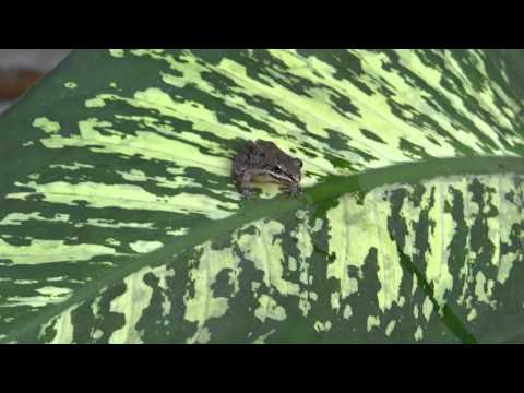 Leptodactylus fragilis (White Lipped Frog - Rana de charco)