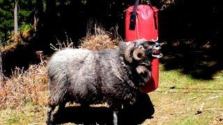 Rambro: The Angry Ram