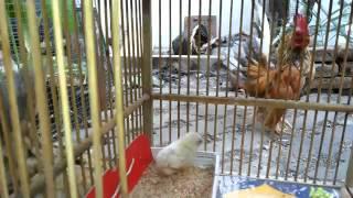 asyiknya pelihara ayam serama oleh Abu Syahid