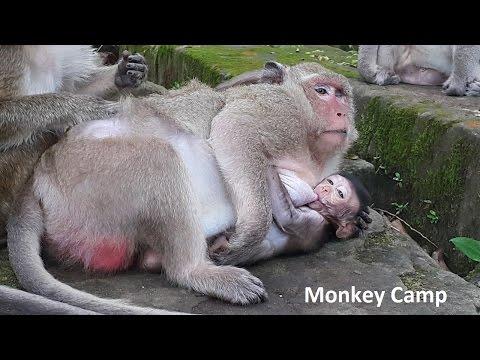 I like my mom milk, baby monkey breastfeeding, Real life of baby monkey, Monkey Camp part 744
