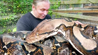 A TRULY GIANT SNAKE!! PACKING VENOMOUS GABOON VIPERS!!   BRIAN BARCZYK