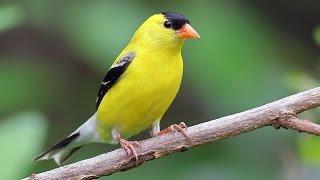 Suara Ocehan Burung Goldfinch Untuk Masteran Durasi Panjang Download Mp3 Mp4 3GP HD Video