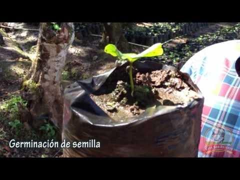 Germinación de semilla -  Café San Romero