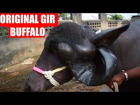 Xxx Mp4 Original Gir Buffalo Of Gujarat 3gp Sex