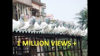 Ali monsur pigeons loft - More then 200 pigeons fedding time - BD rahman pigeons loft.