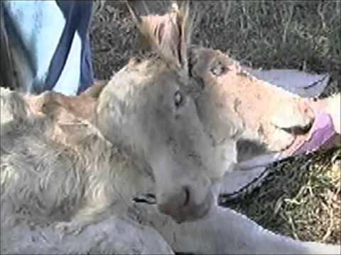Bezerro nasce com duas cabeças em Ituiutaba
