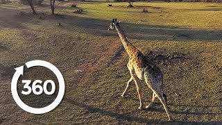 Saving Threatened Species | Racing Extinction (360 Video)