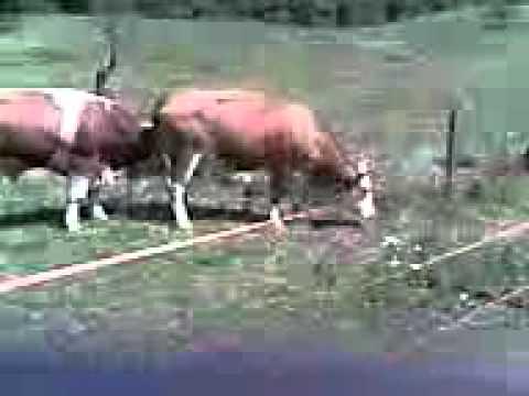 bik i krava