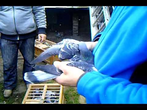 Parowanie gołębi pocztowych cz 3
