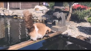 Timo the Cat & his koi fish buddies (compilation summer 2016)