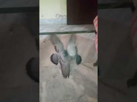Xxx Mp4 10 Min Wali Video Ka Kabutar Version 3gp Sex