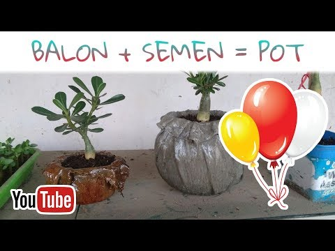 Membuat Pot Adenium dari Balon Semen