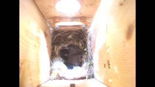 HOSP House Sparrow attacks baby chickadees in box SEE TIME STAMPS BELOW