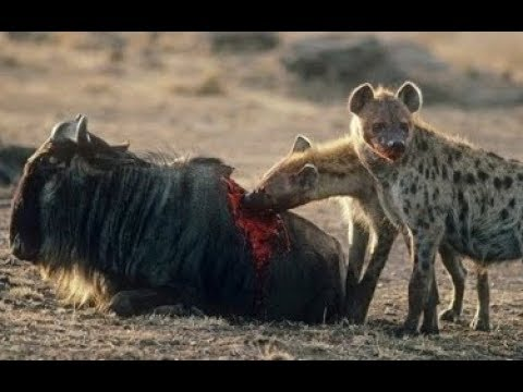 Xxx Mp4 O Ataque Da Leoa E Das Hienas No Antílope Hienas Combativas Ataque Animal 3gp Sex