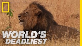 Lethal Lioness Pride   World's Deadliest