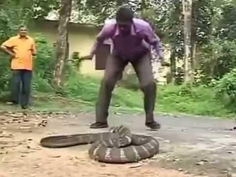 whatsapp funny video 2015 king cobra live attack @whatsapp #whatsapp   Waptubes Com
