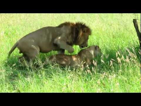 Accouplement de lion