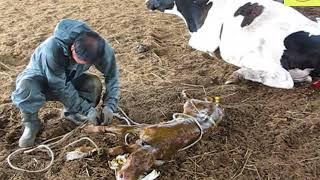 젖소 출산 도와주기!!! 제 4편
