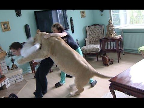 Xxx Mp4 Lion Attacks Man At Home 3gp Sex