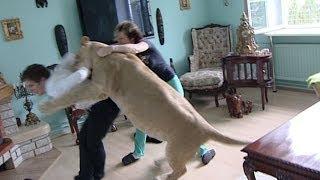 Lion attacks man at home