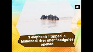 3 elephants trapped in Mahanadi river after floodgates opened - #Odisha News