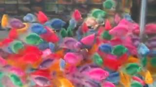 سمك مصبوغ