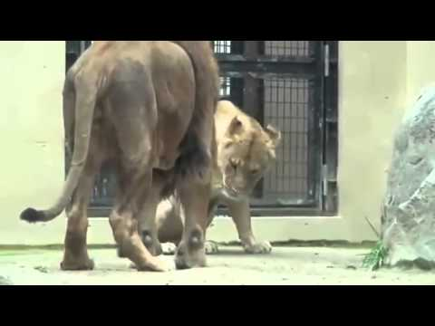 Xxx Mp4 Animal Sex Lion Mating Reproduction At Zoo 3gp Sex