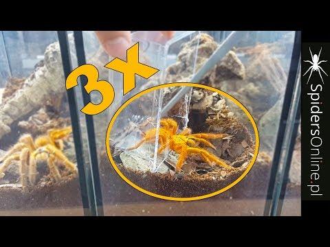 Xxx Mp4 3x MURINUS USAMBARA Robimy Terraria Spidersonline Pl 3gp Sex