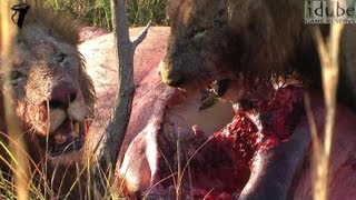 Mapogo Male Lions Eating A Fresh HIPPO KILL!!