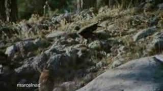 Golden Eagle dragging mountains goats off cliffs.