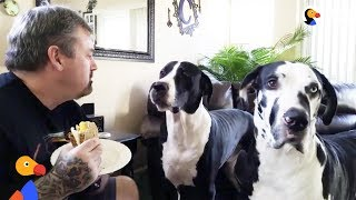 Great Dane Dog REALLY Wants Dad's Sandwich | The Dodo