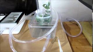 Lasius Niger in New Nest (Brood Boosted)