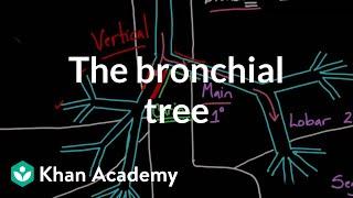 The bronchial tree | Advanced respiratory system physiology | Health & Medicine | Khan Academy
