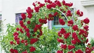 Rose grafting in home/  free free rose plant free