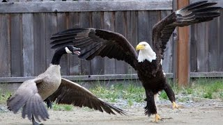 Eagle attacks: Dutch police train eagles to take down drones; Eagle hunting goose - Compilation