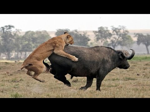 Xxx Mp4 Jungle Lion Vs Buffalo Animal World Full 3gp Sex