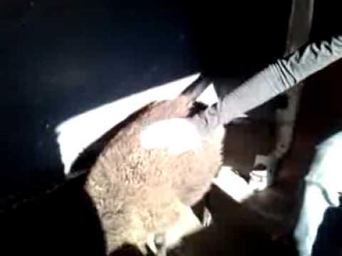 Hardcore schaap (niet hallal)