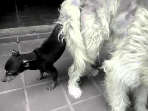 Mi perrito pincher monta a mi perra pastora y os lo enseño