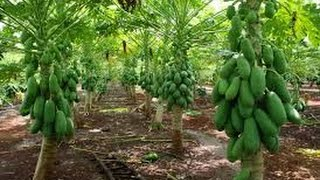 Como Cultivar Papaya de Forma Productiva  - TvAgro por Juan Gonzalo Angel