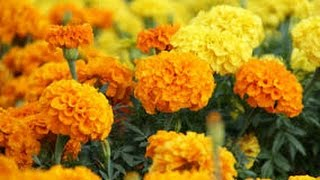 91 - How to grow Marigold (Genda) from seed - 19/7/16