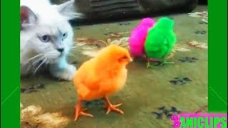 CAT and Colorful Chickens