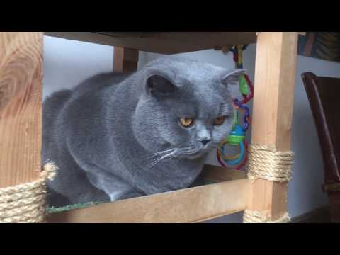 Xxx Mp4 Coconut Blue British Shorthair Watching A Baby From His Tree 3gp Sex