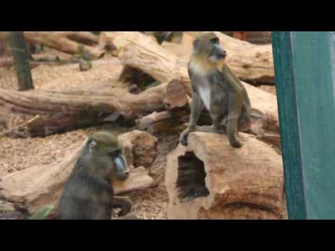 Xxx Mp4 Mandrill Mandrillus Monkey SEX Fail At Chester Zoo 3gp Sex